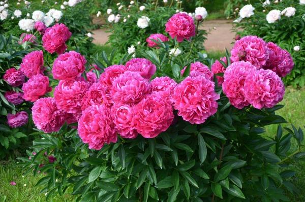Чем подкормить пионы для пышного цветения в саду