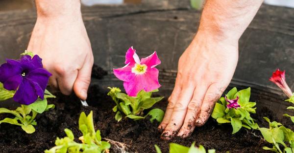 Как правильно высаживать петунию в открытый грунт