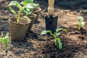 Когда и как высаживать рассаду перца в открытый грунт: сроки, правила Фото Видео