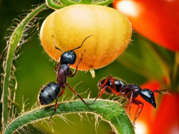 Как избавиться от муравьев в теплице народными средствами навсегда