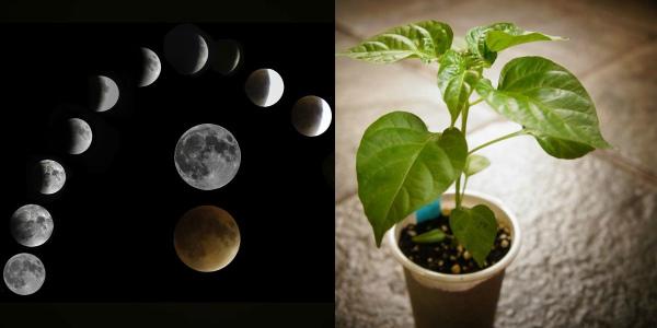 Когда высаживать рассаду перца в 2020 году по Лунному календарю