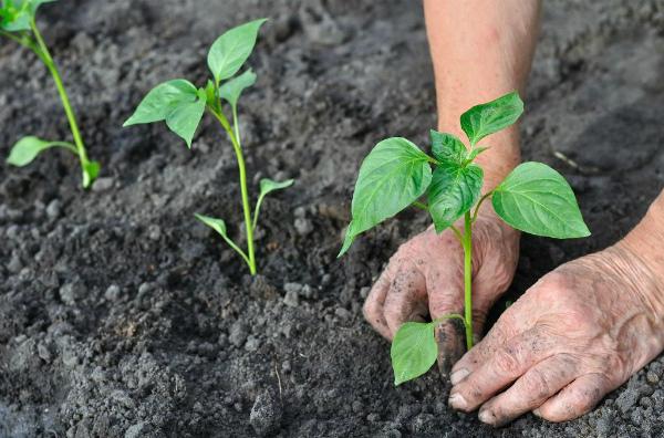 Когда можно высаживать рассаду перца в открытый грунт