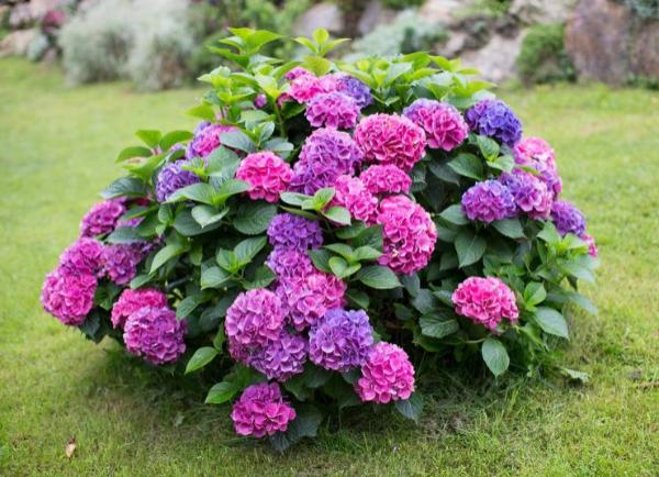 Когда сажать гортензию весной – оптимальные сроки