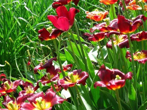 Тюльпаны отцвели, что делать дальше в открытом грунте