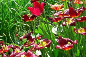 Тюльпаны отцвели, что делать дальше в открытом грунте Фото Видео