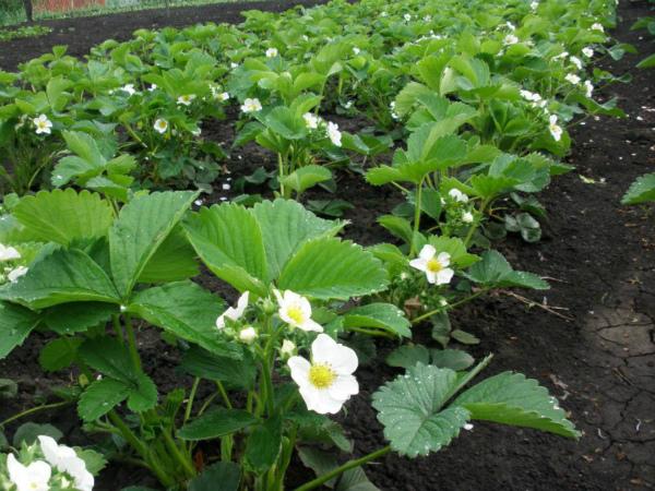 Подкормка клубники во время цветения народными средствами