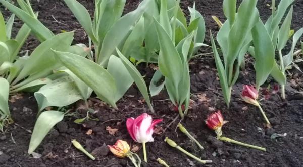 Что делать с цветоносами и листьями тюльпанов