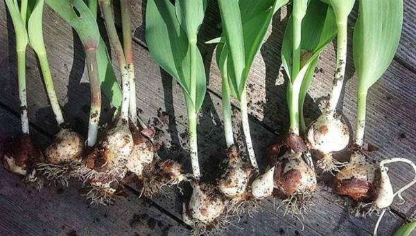 Нужно ли выкапывать луковицы тюльпанов после их цветения