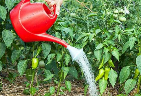 Чем подкормить перцы во время плодоношения в теплице