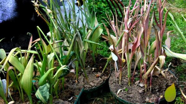 Тюльпаны отцвели в горшке, что дальше с ними делать