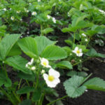 Чем подкормить клубнику во время цветения для хорошего урожая: народные средства