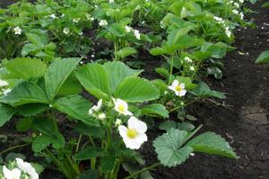 Чем подкормить клубнику во время цветения для хорошего урожая и завязывания ягод Народные средства Видео