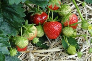 Чем подкормить клубнику во время плодоношения для хорошего урожая Народные средства Видео