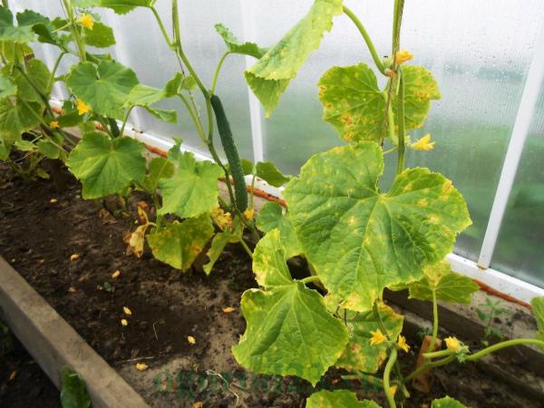 Чем подкормить огурцы в теплице, если желтеют листья