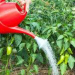 Чем подкормить перцы в теплице во время цветения и плодоношения