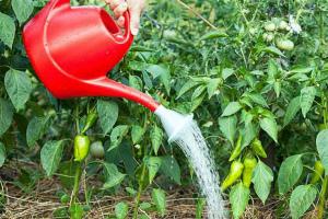 Чем подкормить перцы в теплице во время цветения и плодоношения Народные средства Фото Видео