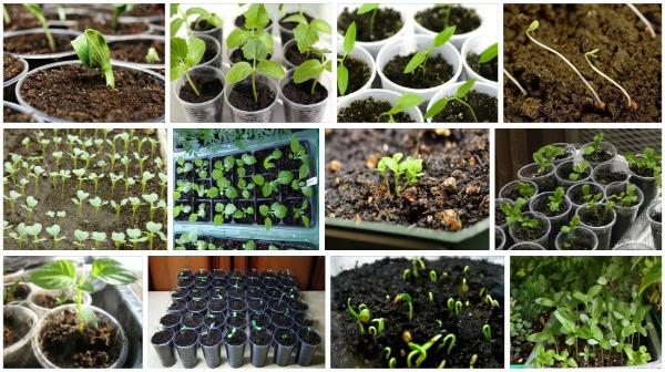 Какие растения сеять на рассаду в феврале