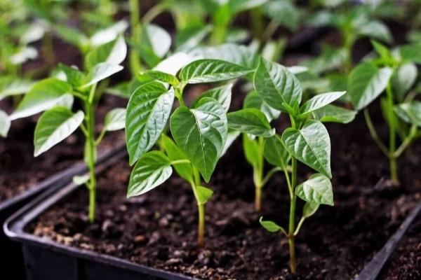 Советы садоводов по выращиванию перцев