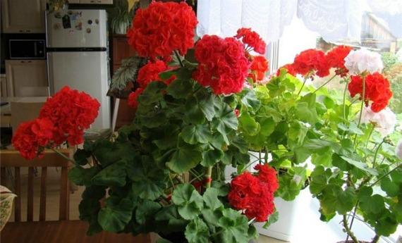 Как ухаживать за цветущей геранью в домашних условиях