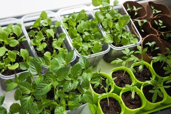 Какие условия нужны для выращивания рассады в марте