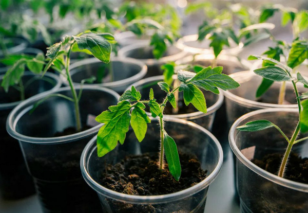 Когда и чем подкармливать рассаду помидор