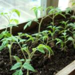 Уход за рассадой томатов после всходов