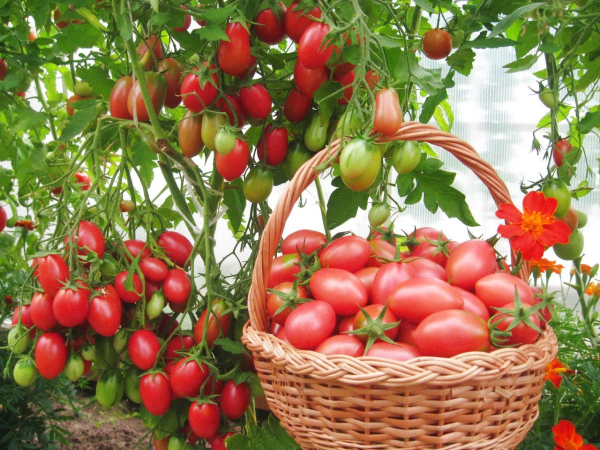 Лучшие сорта (гибриды) томатов 2021 году для теплиц