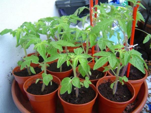 Какие условия нужны для получения крепкой рассады томатов