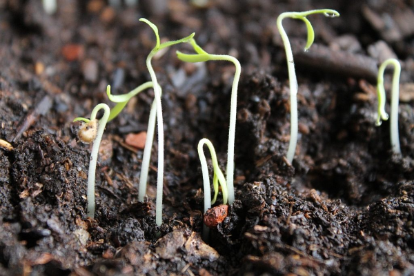 Не всходят семена (или долго всходят)