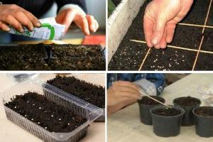 Посадка семян томатов на рассаду в домашних условиях Когда сажать Правила посева и выращивания
