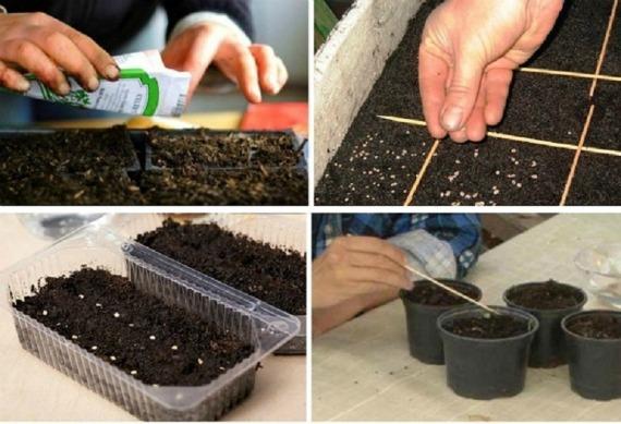 Когда сеять семена помидор на рассаду, сроки в регионах