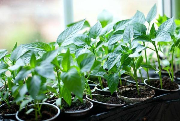 Условия для выращивания крепкой рассады перцев