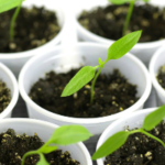 Уход за рассадой перца после всходов: секреты огородников