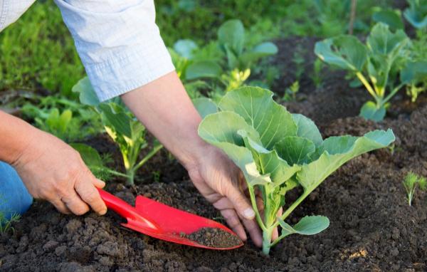 Подкормка капусты в открытом грунте: сроки, схемы