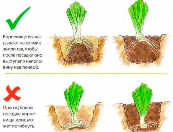 Растение посажено слишком глубоко или слишком мелко