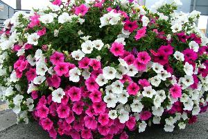 Чем подкормить петунию для обильного цветения и роста на улице в кашпо Народные средства