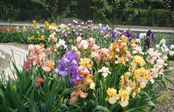 Что делать и как помочь ирисам пышно цвести