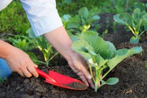 Чем подкормить капусту для роста в открытом грунте Народные средства Видео