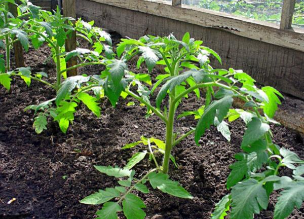Как высадить помидоры в теплицу правильно