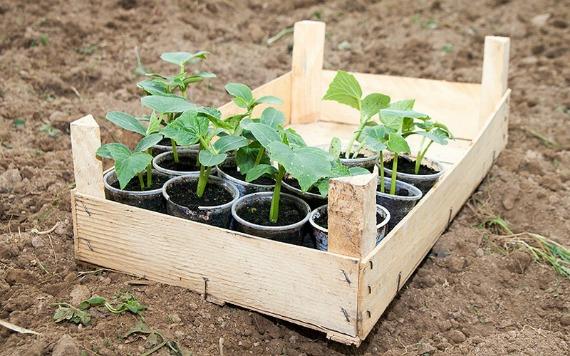 Как правильно высадить рассаду огурцов в теплицу