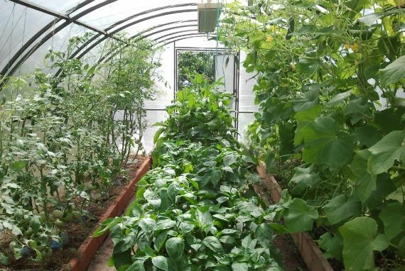 С какими культурами можно сажать помидоры в теплице