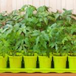Когда высаживать рассаду помидоров в теплицу