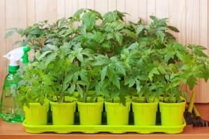 Когда и как высаживать рассаду томатов в теплицу Сроки Фото Видео