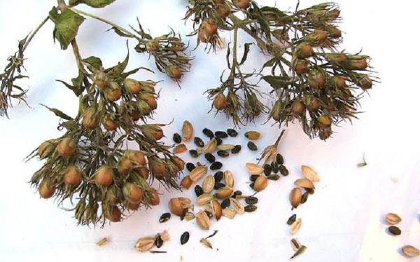 Размножение многолетних флоксов семенами