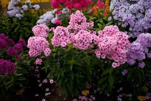 Флоксы многолетние: посадка и уход в открытом грунте весной летом осенью Фото Сорта