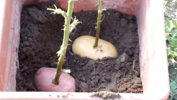 Укоренение розы в картошке
