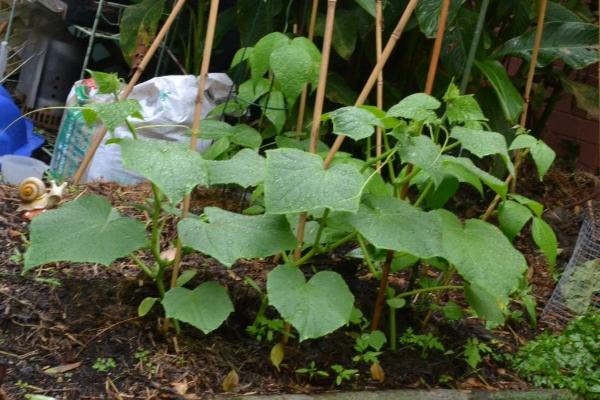 Чем подкормить огурцы в открытом грунте для роста