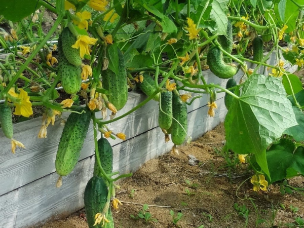 Советы огородников по выращиванию огурцов в открытом грунте