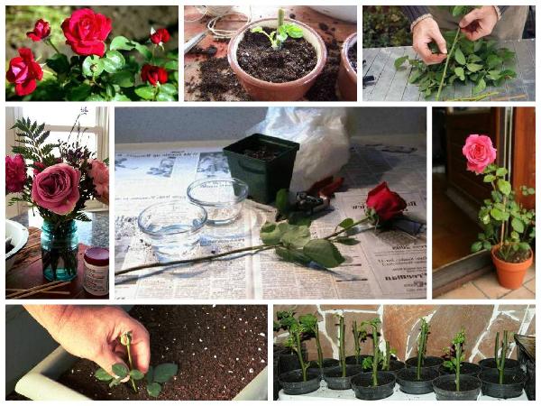 Пошаговая подготовка черенков розы к укоренению